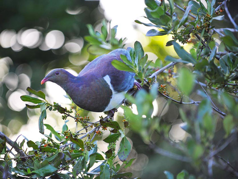 Kereru NZ Wood Pigeon - photo: Allan MacGillivray